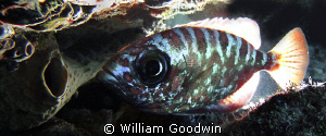Glass Eye Snapper with tail &amp; fins backlit. One of the de... by William Goodwin 